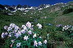 American Basin and an early appearing stand of Blue Columbine.