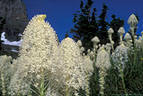 A large stand of Beargrass at Logan Pass, in Glacier National Park, Montana.