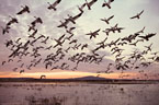 Sunrise flight of Snow Geese at the Flight Deck, Bosque del Apache Wildlife Refuge.