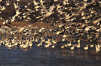 Snow Geese begin their flight to feeding areas.