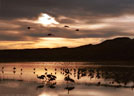 In late evening, Sandhill Cranes begin their return to their roosting area.