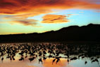 Sunset, colorful clouds, and Sandhill Cranes at Bosque del Apache National Wildlife Refuge, New Mexico.