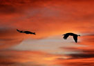 Cranes in flight against an awesome sunset.