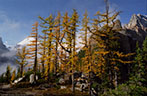 Larch grove in fall colors, and in the background Devils Thumb and Mount Whyte, Big Beehive, Banff National Park.