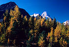 Larches, and in the background Mount Assiboine, Mount Assiniboine Provincial Park.