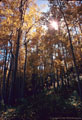 An aspen grove off the Fall Creek Road near Sawpit, is decorated by an asterism.
