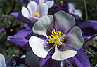 A closer look at a flower of the Colorado Blue Columbine.