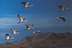 Flight of Sandhill Cranes against a desert mountain backdrop.