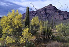Palo verde in blossom along Ajo Mountain Drive, Organ Pipe National Monument, Arizona