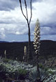Stormy skies with Cirios and blooming Yuccas near Rancho Are�oso.