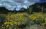 Organ pipe cactus, saguaros, and a large stand of brittlebush,  Ajo Mountain Drive