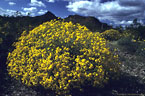 El Nino brings flowering brittlebush to Organ Pipe National Monument, Arizona