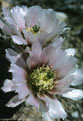 Pale flowers of the Maritime Hedgehog Cactus.
