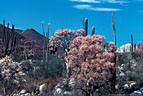 An El Ni�o phenomenon, Elephant Trees flowering in various pastel shades