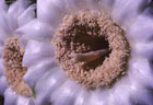 Detail of Saguaro blossom, Otgan Pipe National Monument, Arizona