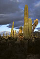 The El Ni�o touch, stormy evening skies and fat, water filled Cardon cacti.