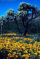 El Nino years bring dense stands of goldpoppies along Puerto Blanco Drive