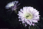 July - Flower of the night blooming Echinopsis hybrid 'Los Angeles'