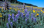 Lupine, and Mule's Ear decorate an old fence row.  Last Dollar Road.