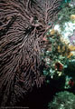 A large Gorgonian Fan and Red Tunicates at Punta Vicente Roca, Isla Fernandina, Islas Gal�pagos, Ecuador