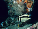 A Sythemark Butterfly Fish in the deep water off Isla Champion, Islas Gal�pagos, Ecuador