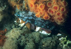 A Creole Fish in its night colors, with orange Powderpuff Coral and grey Bryzoans(?), Tagus Cove, Isla Isabela, Gal�pagos