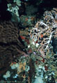 A number of marine invertebrates, among them deep-water Soft Coral, a Gorgonian Fan, and white Sponges,  Isla Champion, Islas Gal�pagos, Ecuador