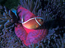 Indo-Pacific Underwater Gallery I - Clownfish in Sea Anemones