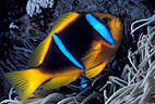 A Twin-barred Anemone Fish above the tentacles of a pink-tipped Sea Anemone, Astrolabe Reef, Kadavu, Fiji