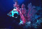 An Underwater photographer composes a shot of a large, deep water burgundy Soft Coral.