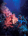 A Scuba diver off a wall covered with Soft Corals - Astrolabe Reef