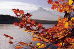 September - Autumn Vine Maples at Lost Lake, In the Mount Hood National Forest, Oregon.
