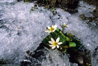 A Marsh Marigold displays its blossoms in an icy setting.