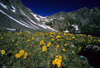 A stand of Alpine Sunflowers south of Upper Clear Lake.