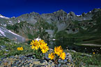 Alpine sunflowers on lichen covered rock  -  Clear Lakes