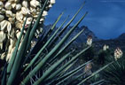 Waxy blossoms and daggerlike leaves of the Mountain Torrey Yucca, near Dripping Springs