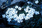 White Cushion Phlox among lichen-covered slabs.