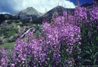 Yankee Boy Basin and a stand of Fireweed, in the distance, Twin Falls..