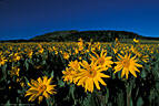 An abundant stand of Mule's Ears, a type of Sunflower, beside the Last Dollar Road.