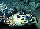 Portrait of Hawksbill Turtle, South coast, Grand Cayman Island, BWI