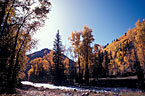 Fall colors of aspen and narrow-leaf cottonwood, along the San Miguel River.