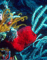 Red Cup Sponge,  yellow Crinoids, Gorgonians and Sea Feathers - North Wall. Grand Cayman Island