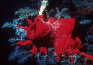 Red Cup Sponge and Hydroids on Black Coral - Bloody Bay, Little Cayman Island