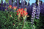 The bright red of Indian Paintbrush stands out in a field of Lupine.  Last Dollar Road
